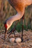 Close Up of a Sandhill Crane Tending to its Eggs Fotografisk tryk af Michael Forsberg