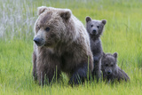 A Grizzly Bear Family, Ursus Arctos Horribilis, Stands in the Sedge Grass Fotografie-Druck von Barrett Hedges