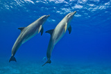 Two Bottlenose Dolphins Swimming Side by Side in Clear Blue Water Fotografisk tryk af Jim Abernethy
