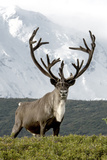 Mount Mckinley Looming over a Caribou, Rangifer Tarandus, in Denali National Park Fotografie-Druck von Barrett Hedges