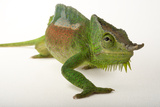 A Four-Horned Chameleon, Chamaeleo Quadricornis, at the Fort Worth Zoo Photographic Print by Joel Sartore
