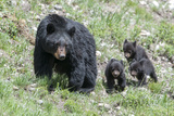 Three Black Bear Cubs, Ursus Americanus, Follow Closely Behind their Mother. Photographic Print by Barrett Hedges