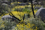 A Variety of Flowers Grow in a Forest Fire Burn Scar Along the Granite Mountain Trail Reproduction photographique par Scott S. Warren