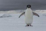 An Adelie Penguin, Pygoscelis Adeliae, on the Antarctic Peninsula Photographic Print by Cristina Mittermeier