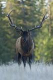 A Bull Elk, Cervus Canadensis, Stands in a Frost Covered Meadow Fotografisk tryk af Barrett Hedges