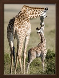 Masai Giraffe with its Calf, Masai Mara National Reserve, Kenya Framed Photographic Print