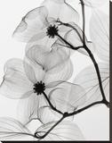 Dogwood Blossoms Positive Opspændt lærredstryk af Steven N. Meyers
