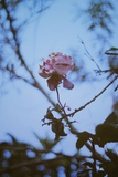 Fading Rose Photographic Print by Carolina Hernandez