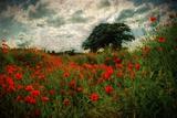 Poppies in a Wild Field Fotografisk trykk av Mark Gemmell
