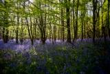 Bluebells in Woods Fotografisk trykk av Rory Garforth