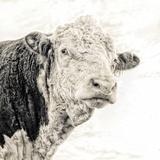 Close Up of Bull's Head Fotografisk trykk av Mark Gemmell
