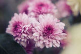 Pink Flowers Photographic Print by Carolina Hernandez