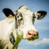 Close Up of Cow's Face Lámina fotográfica por Mark Gemmell
