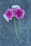 Rosa blomster Fotografisk trykk av Den Reader