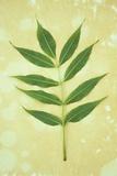 Green Leaves Fotografisk trykk av Den Reader