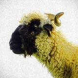 Sheep's Head Fotografisk trykk av Mark Gemmell