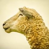 Sheeps Head Fotografisk trykk av Mark Gemmell