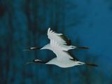 Perfect Formation of Two Japanese or Red-Crowned Cranes in Flight Kunst på metal af Tim Laman