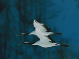 Perfect Formation of Two Japanese or Red-Crowned Cranes in Flight Metalldrucke von Tim Laman