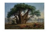 Gouty Stem Tree Giclée-tryk af Thomas Baines