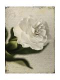 Gardenia Grunge II Prints by Honey Malek