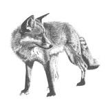 Wildlife Snapshot: Fox Affiches par Naomi McCavitt