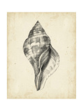 Antique Shell Study II Posters by Ethan Harper