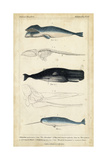 Antique Whale and Dolphin Study III Affiches par G. Henderson