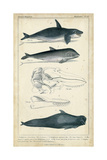 Antique Whale and Dolphin Study I Affiches par G. Henderson