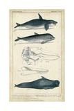 Antique Whale and Dolphin Study I Kunstdrucke von G. Henderson