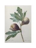 Violet Fig Print by Pierre-Joseph Redoute