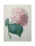 Hydrangea Print by Pierre-Joseph Redoute
