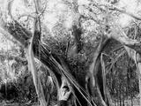 Rubber Tree, Lake Worth, Fla. Photo