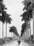 Avenue of Palms, Havana Foto