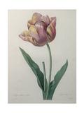 Tulip Cultivar Poster by Pierre-Joseph Redoute