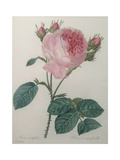 Provence or Cabbage Rose Posters by Pierre-Joseph Redoute