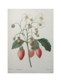 Strawberry Bouquet Plakater av Pierre-Joseph Redoute