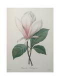 Magnolia Soulangiana Poster av Pierre-Joseph Redoute
