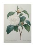 White Camellia Posters av Pierre-Joseph Redoute
