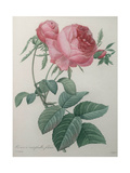 Rose with a Hundred Leaves and Foliage Pôsters por Pierre-Joseph Redoute