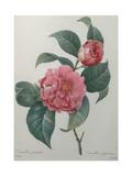 Japanese Camellia Kunst av Pierre-Joseph Redoute
