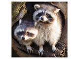 Adult Raccoon at His Nest Plakat