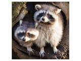 Adult Raccoon at His Nest Prints