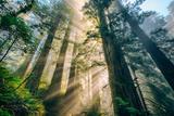 Divine Forest Light Coast Redwoods Del Norte California Fotografie-Druck von Vincent James