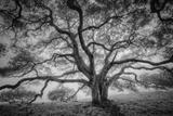 Majestic Old Oak, Black and White, Petaluma Northern California Fotografisk trykk av Vincent James