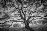 Majestic Old Oak, Black and White, Petaluma Northern California Lámina fotográfica por Vincent James