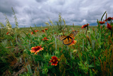 A Monarch Butterfly Lands on Wildflowers Photographic Print by Michael Forsberg