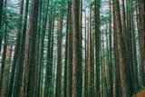 Trees at Muir Woods, Noethern California Coast, Marin County Fotografisk trykk av Vincent James