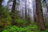 Into The Woods, Redwood Coast, Northern California Photographic Print by Vincent James