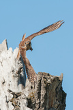 An American Kestrel Takes Off from a Broken Cottonwood Tree Photographic Print by Tom Murphy